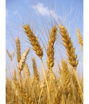 Пшеница - 5кг.