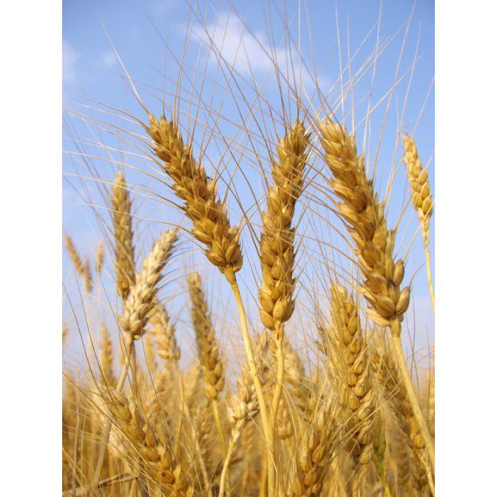 Пшеница 20кг