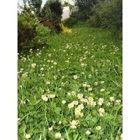 Газонная трава Декоративная с белым клевером