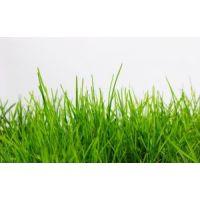 Газонная трава Карлик низкорослая